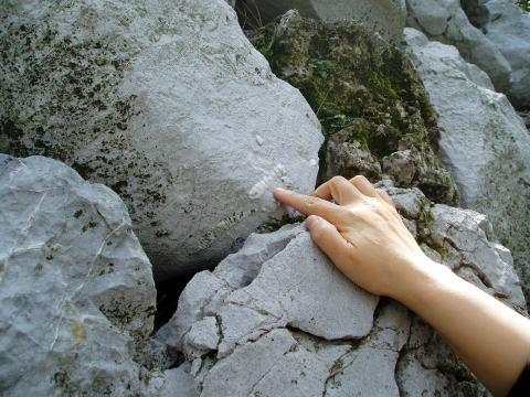 ウミユリの化石