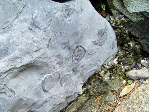 大垣城の化石